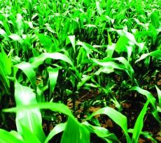 MikroSupport® Corn